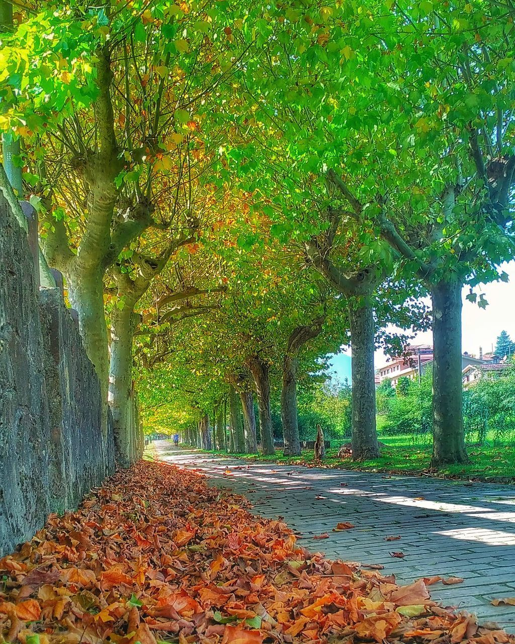tree, plant, autumn, change, growth, the way forward, leaf, plant part, direction, footpath, tree trunk, trunk, nature, beauty in nature, park, day, road, no people, tranquility, green color, treelined, outdoors, diminishing perspective, leaves, autumn collection, fall