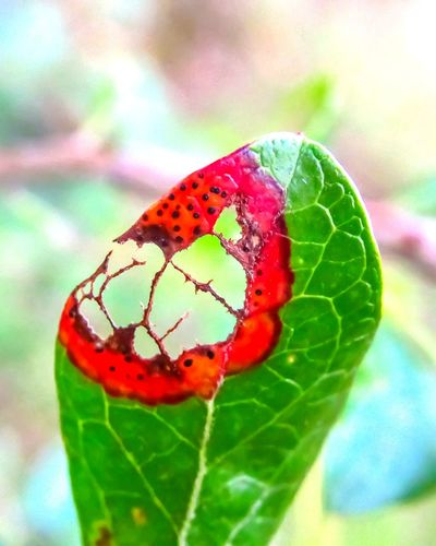 Macro Macro Leaf Red Leaf Beauty In Nature Plant Outdoors Close-up Plant Huckleberryplant Nature No People Day Freshness Fragility Lace Pattern Green Color Veins In Leaves Leaf Vein Hole In Leaves Patterns Agriculture Focus On Foreground Red Plant Part