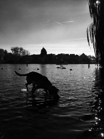 The Great Outdoors - 2015 EyeEm Awards EyeEm Nature Lover IPhoneography EyeEm Gallery Dog Cute Pets Playing Swan Water Black And White Hollandsnextdogmodel