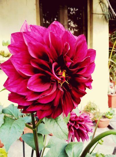 Pink Flower Flower Head Flower Photography Eye Em Nature Lover EyeEmBestPics Eyeem India