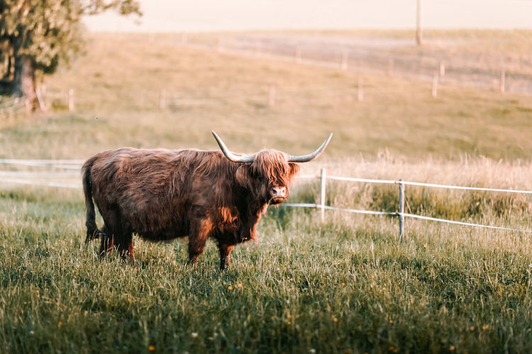American Bison Animal Animal Themes Cattle Cow Day Domestic Animals Farm Farm Life Fence Field Grass Highland Lawn Mammal Moon Nature Nature No People One Animal Outdoor Outdoors Sunset