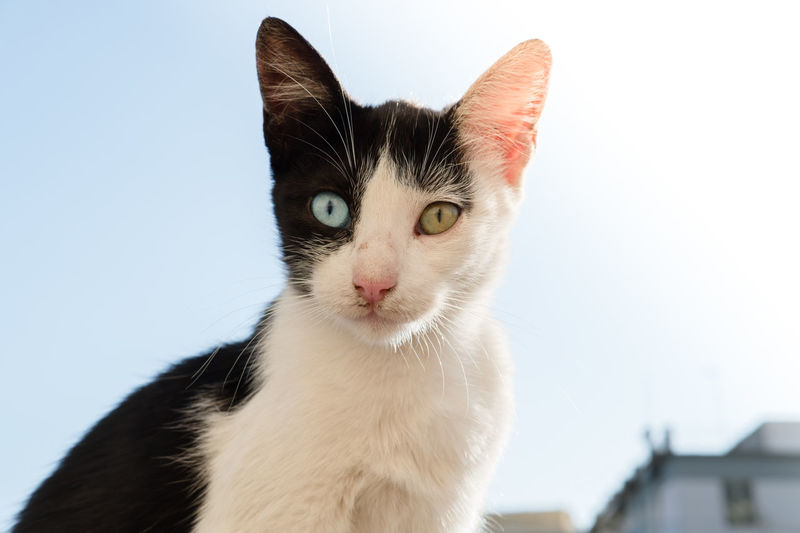 Cat portrait with different eye color Animal Themes Close-up Different Eye Color Different Eyes Domestic Animals Domestic Cat Feline Looking At Camera Mammal No People One Animal Pets Portrait