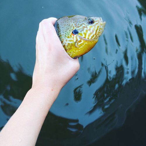 Cropped hand holding fish over lake