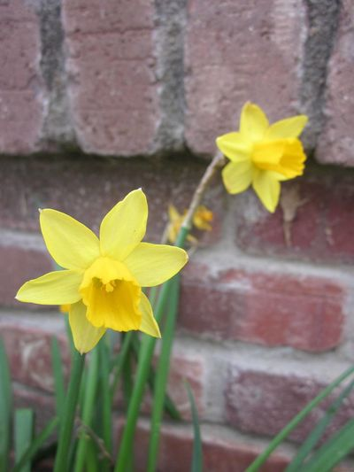 'Two Yellow Daffodils On A Brick Wall Background'. Narcissus flowers return every year, usually the first flowers to bloom, signifying Spring is on its way. These two bright yellow Daffodils look beautiful against the brick wall background of a house. Springtime EyeEmNewHere Red Bricks Brick Wall Brick Wall Background Bright Yellow Color Canary Yellow Coloration Close-up Daffodil Flower Flower Head Flower Photography Wildflowers Springtime Garden Flowers Flower Nature Spring Plants Green Leaves And Flowers Nature Photography 👣 No People Orange Color Saffron Yellow Blooms Soft Focus Undertone Spring Flowers 2017 Star Shaped Sunshine Wallpaper Yellow Yellow Green Combination