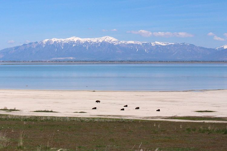 American bison at beach