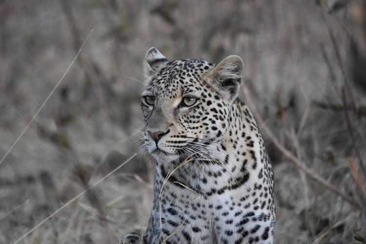 Leopard  face close up