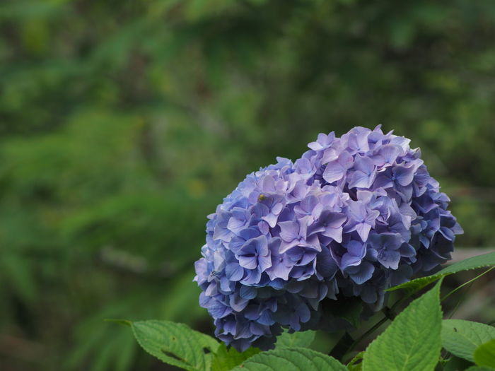 Flower Flowering Plant Plant Beauty In Nature Freshness Vulnerability  Growth Purple Close-up Fragility Petal Flower Head Inflorescence Hydrangea Nature Plant Part Leaf Day Focus On Foreground No People Springtime Bunch Of Flowers Lilac Hydrangea Olympus Olympus OM-D EM-1 Zuiko Saga Japan