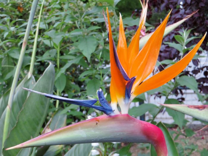 where flowers bloom so doeS hope. Ladybirdjohnson Flor Ave Del Paraiso Estrelicia Flor De Pájaro Pájaros De Fuego Flor Dela Grúa Aranjado Azul Intenso Crane Flower Bird Of Paradise Strelitzia