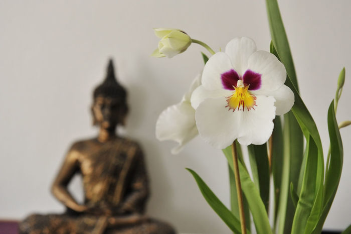 Blooming Buddha Close-up Day Flower Flower Head Fragility Freshness Inndor Nature Nature No People Orchid Plant Wellness