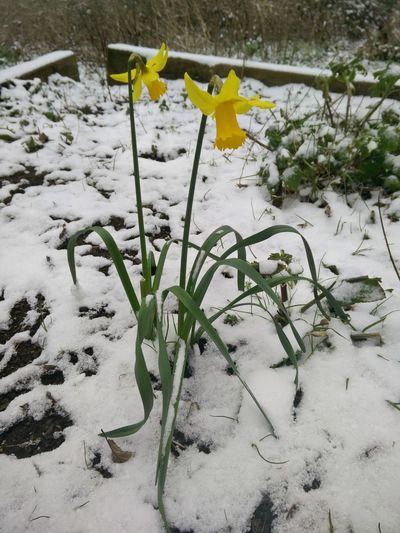proud daffodils Daffodils Snow Early Spring Flower In Snow Eingeschneit Narzissen Osterglocken Schnee Blumen Frühlingserwachen Frühblüher Frozen Weather Plant Growing