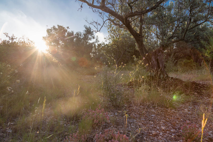 Catalunya Olive Olive Tree Beauty In Nature Day Forest Grass Growth Landscape Lens Flare Nature No People Outdoors Permaculture Permaculture Garden Permaculturedesign Scenics Sky Sun Sunbeam Sunlight Tranquil Scene Tranquility Tree