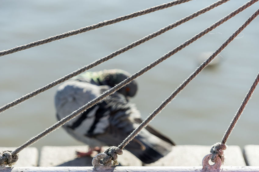 Alexandria Bird Close-up Depth Of Field Fence Focus On Foreground Old Old Town Outdoors Pier Pigeon Potomac Protection Selective Focus Showcase: January Textured  Town Virginia Washington Washington, D. C. Water