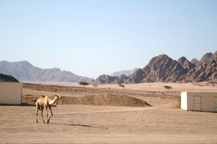 Egypt Camel Desert Mountains Nature Sky Trip Check This Out On A Holiday Sun