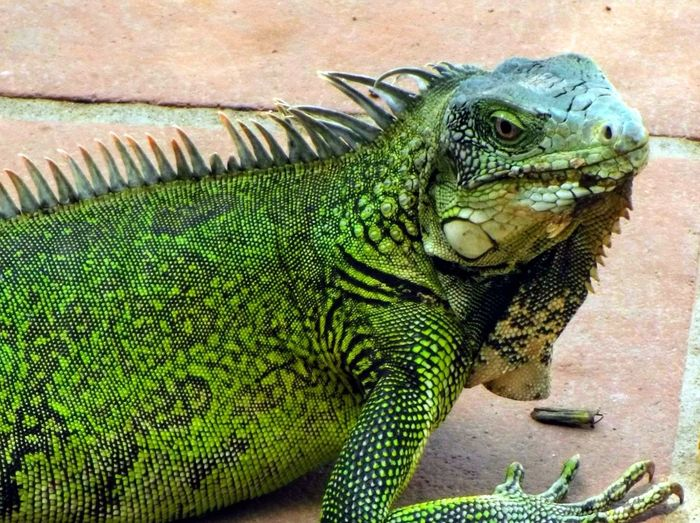 so green Iguana
