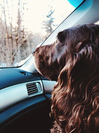 My best friend and codriver 😍 German Spaniel Wachtel Dog EyeEm Selects Car Car Interior Land Vehicle Domestic Animals Transportation Mode Of Transport One Animal Pets Close-up Animal Themes Mammal Day No People Outdoors