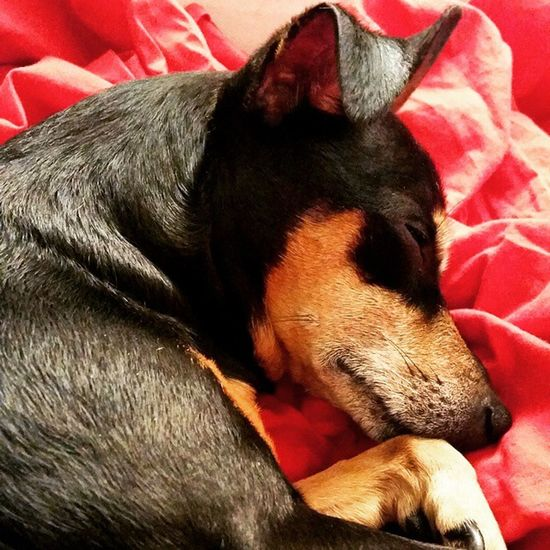 Pincher Pinscher Zwergpinscher Minipinscher Minipin Puppy Dog Happy Love