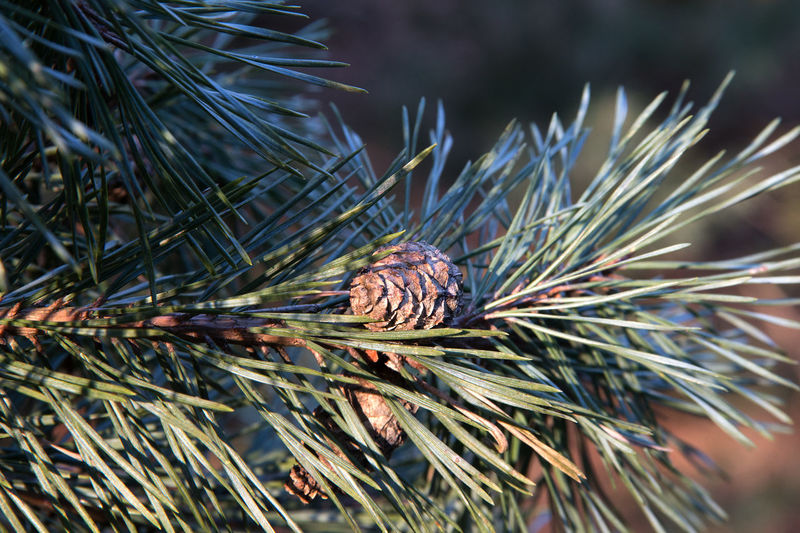 Beauty In Nature Close-up Day Focus On Foreground Growth Nature Needle Needle - Plant Part No People Outdoors Pinaceae Pine Tree Tree