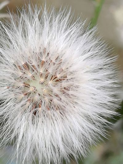 Part Of Wild Thistle Fluffy Fluffy Seed Tranquil Scene In The Alley Full Frame No People Flower Head Flower Uncultivated Close-up Backgrounds My Best Photo