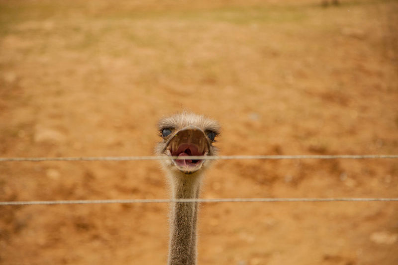 Portrait of ostrich by fence