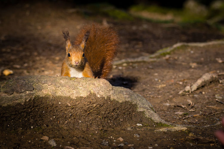 Red squirrel Animals In The Wild Red Squirrel Suirrel Animal Themes Animal Wildlife Animals Animals In Captivity Italy Red Squirrels Scoiattolo