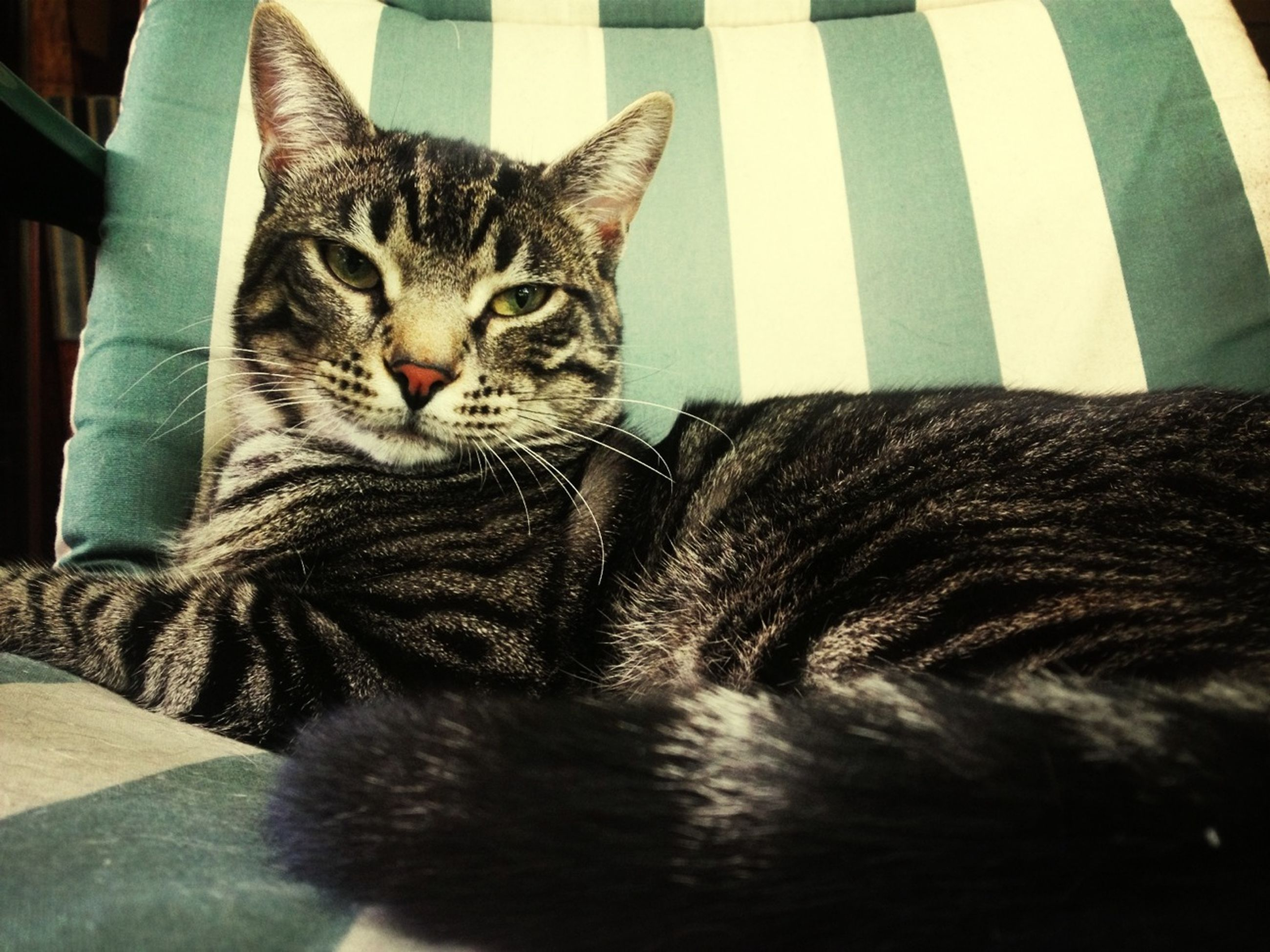 domestic cat, cat, pets, feline, domestic animals, mammal, one animal, animal themes, indoors, whisker, relaxation, resting, portrait, lying down, looking at camera, home interior, close-up, tabby, staring, no people