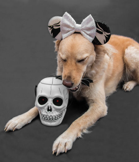 Portrait of dog with toy against gray background