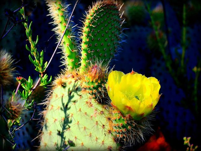 Desert Desert Cactus Prickly Pear Cactus Beauty In Nature Close-up Day Flower Freshness Green Cactus Growth Nature No People Outdoors Prickly Pear Prickly Pear Flower Thorn Thorny Cactus Yellow Yellow Cacti Flower Yellow Cactus Blossom Yellow Cactus Flower