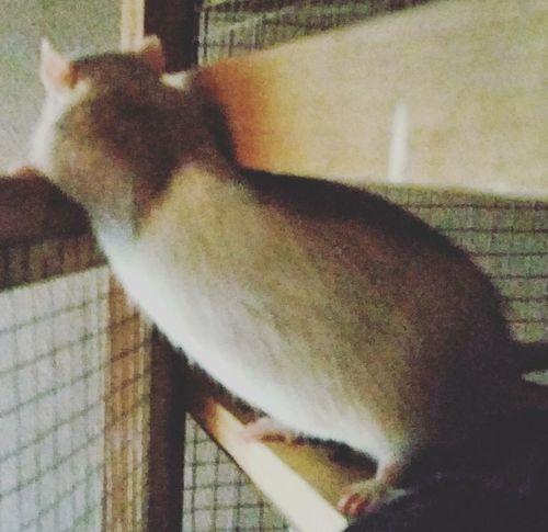ᴛᴇᴅᴅʏ ❤ Animals Animal Cutie Rat Ratties Pet Rattie Rats Ratstagram Ratte