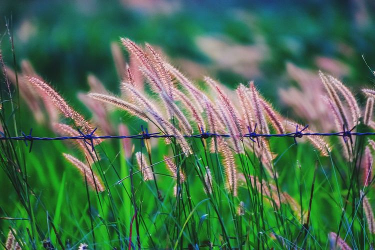 grass flowers in farm Growth Nature Plant Day Outdoors No People Green Color Field Beauty In Nature Focus On Foreground Close-up Grass Fragility Flower Freshness Silhouette Grassflower Sunset Beauty In Nature