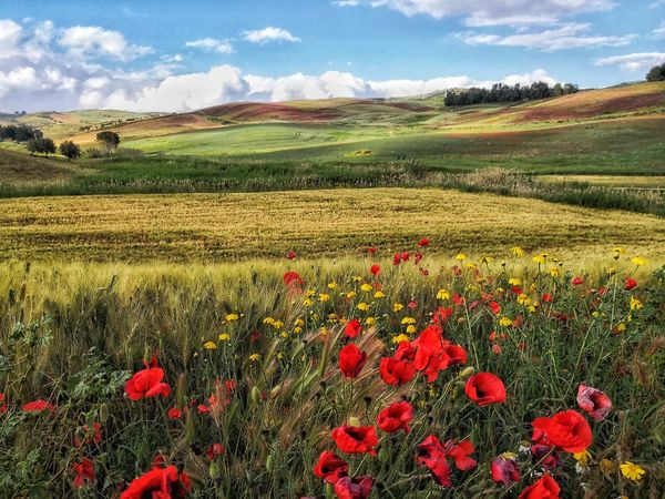 Flower Rural Scene Flower Head Poppy Agriculture Red Summer Field Crop  Sky