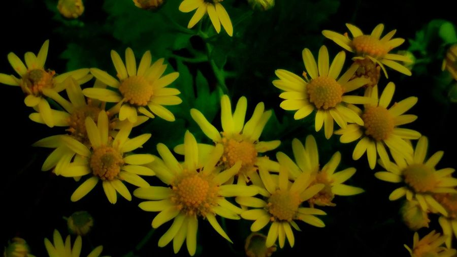 camomile Flower Freshness Fragility Growth Petal Flower Head Beauty In Nature Plant Yellow Close-up Nature In Bloom Bloom Full Frame Day Blossom Autumn Flowes Blooming Vibrant Color Botany Freshness Fragility Growth Petal
