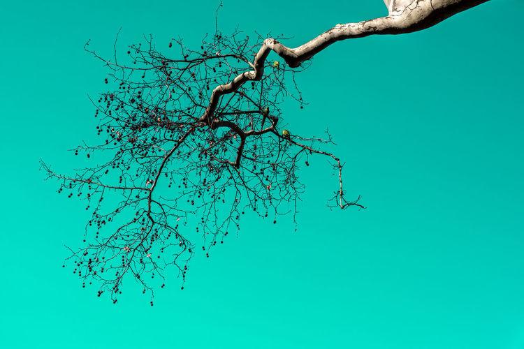 Blue Plant Tree