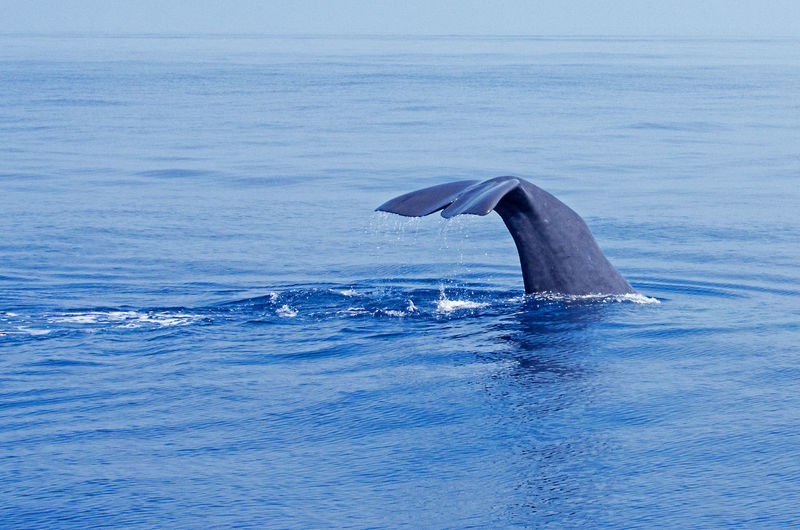 Whale tail in sea