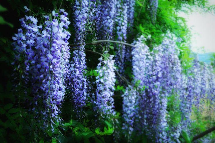 藤 藤の花 花 春 木 林 森 Purple Flower Growth Nature Beauty In Nature Wisteria Flower Wisteria Spring Lavender ColoredSpringtime Tree Forest Wildflower Wild 野生 Scented Perfume Hanging