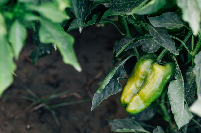 Organic pepper Field Food Food And Drink Freshness Green Color Green Peppers Growth Healthy Eating High Angle View Leaf Nature Organic Organic Farm Organic Food Outdoors Pepper Plant Plant Part Raw Food Ripe Selective Focus Vegetable Vegetables Vegetarian Food Wellbeing