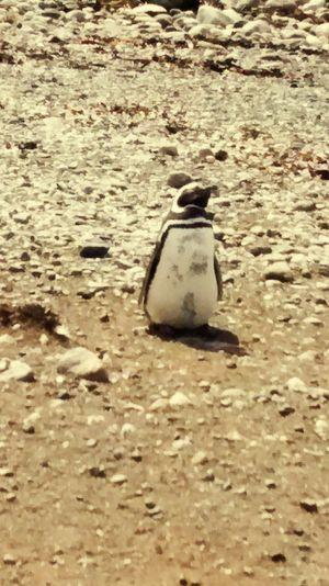 Pinguins  TheWeekOnEyeEM Pingüino Animal Photography