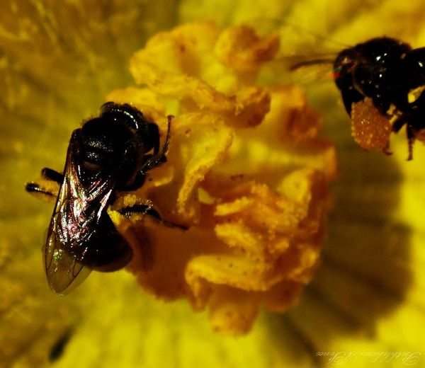 Maximum Closeness working bees Insect Animal Themes Animals In The Wild One Animal Nature Close-up Yellow Animal Wildlife Outdoors No People Flower Beauty In Nature Day Fragility Pollination Freshness Bees Nature Beauty In Nature Eyeem Philippines EyeEm Best Shots