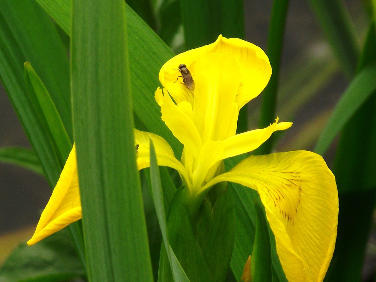 yellow, flower, one animal, fragility, petal, animal themes, nature, insect, outdoors, animals in the wild, day, growth, plant, close-up, leaf, no people, green color, freshness, animal wildlife, flower head, beauty in nature, blooming