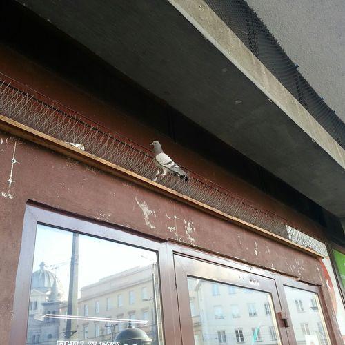 Pigeon Fuck The System Łódź Kreuje