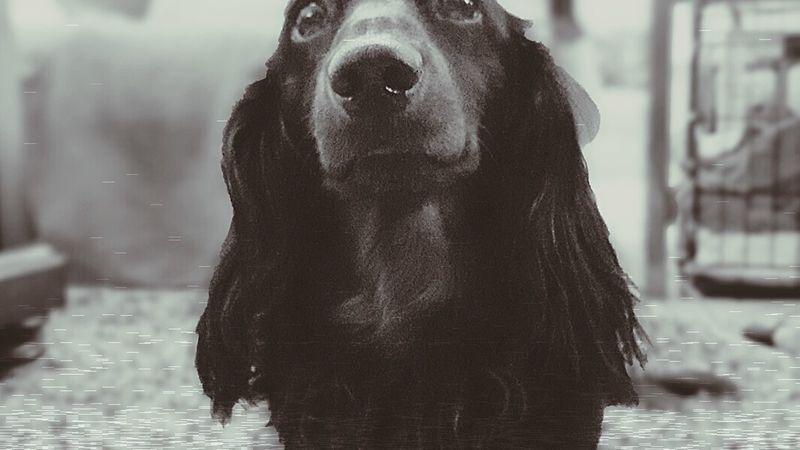 Frankie FRANKLY THE BEST DACHSHUND Dachshund Weeniedog Frankfurt Happiness