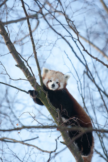 Portrait of panda on tree