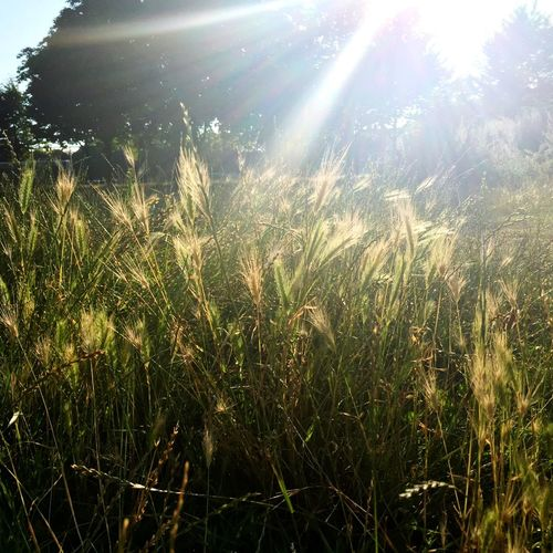Sunshine Glare Grass Weeds Nature London Summer