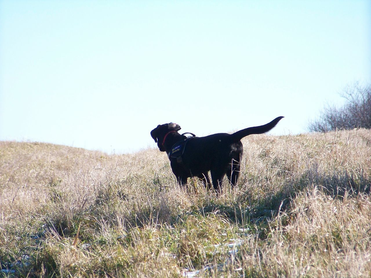 one animal, dog, domestic animals, animal themes, pets, field, nature, mammal, grass, copy space, clear sky, day, no people, outdoors, landscape, beauty in nature, growth, sky, tree