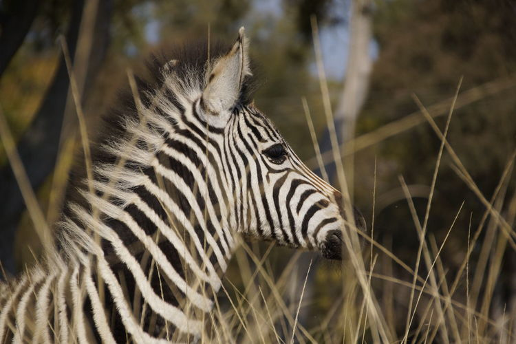 Animal Themes Animal Wildlife Animals In The Wild Beauty In Nature Close-up Nature No People One Animal Outdoors Safari Animals Side View Zebra