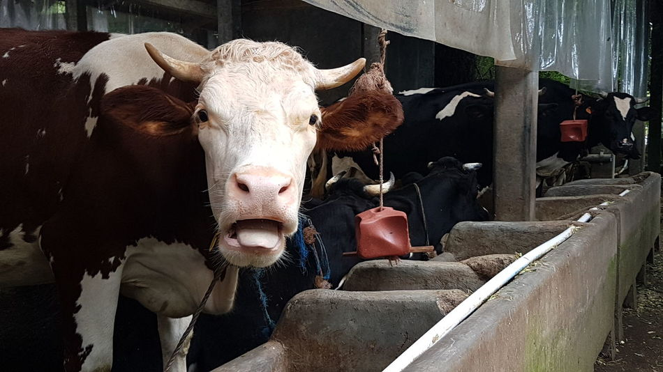 I'm different Nature Animal Themes Milk Cows I'm Different  Cattle Brown Natural Photography Samsungphotography Livestock Tag Domestic Cattle Herbivorous Livestock Animal Nose