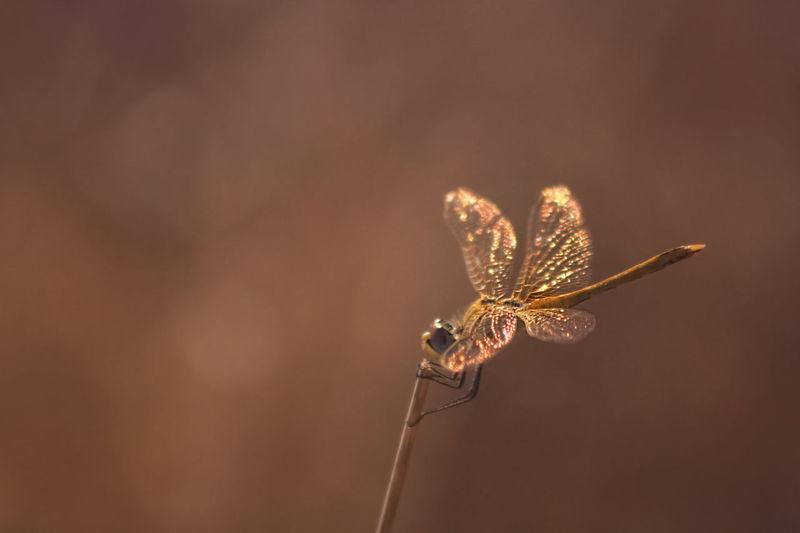 Dragonfly at