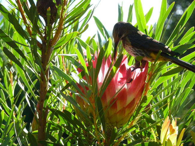 protea and bird at kirstenbosch, cape town Botanical Garden Botanic Bird Bird Photography Protea Blossom Protea Kirstenbosch Cape Town South Africa Nature's Diversity Nature's Beauty Nature Photography Nature's Diversities Showcase June Beauty In Creation  EyeEm Nature Lover Eye For Detail EyeEm Best Shots - Nature Beauty In Nature Check This Out EyeEm Best Edits Flowers, Nature And Beauty Seeing The Beauty In Life