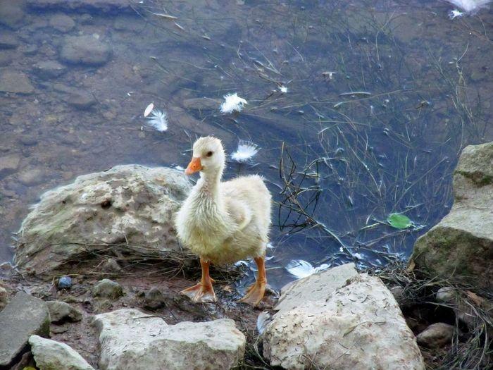 Runoutofwater Catchthemoment Feather  EyeEm Birds Capture The Moment Eyeem Market EyeEm Nature Lover Goose