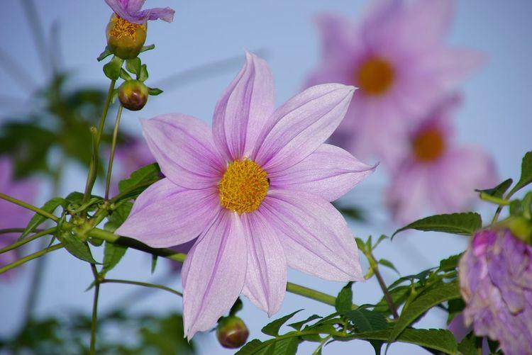 皇帝ダリア Enperor Dahlia Flower Porn Flowers Flowerporn Flower Collection Nature_collection EyeEm Best Shots EyeEm Nature Lover