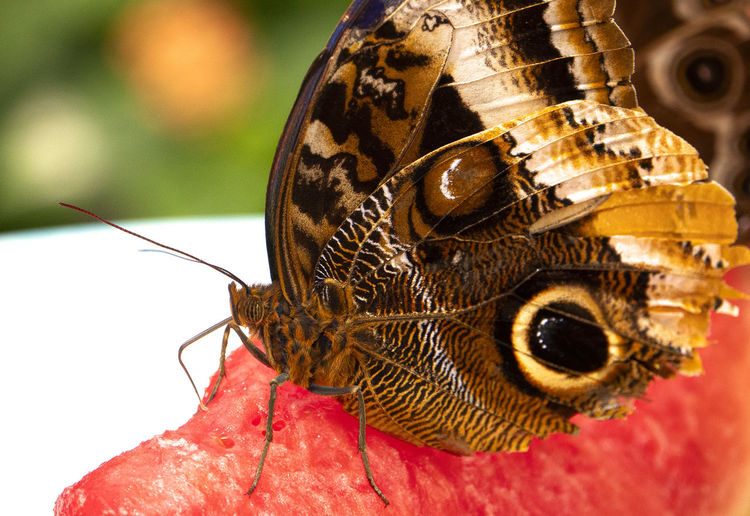 Melon eater Invertebrate Animal Themes Insect Animal Animal Wildlife Close-up Animals In The Wild One Animal Animal Wing Focus On Foreground No People Animal Body Part Animal Antenna Butterfly - Insect Nature Macro Outdoors Red Beauty In Nature Animal Eye Animal Head  Butterfly Melon